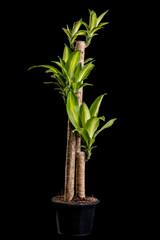Dracaena tree or Dracaena fragrans in black plastic pot