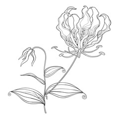 Outline Gloriosa superba or flame lily, stem with tropical ornate flower, bud and leaf in black isolated on white background.