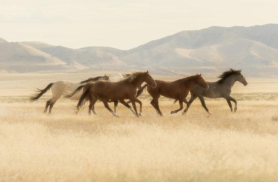 Wild Horses Running Across the Utah Desert