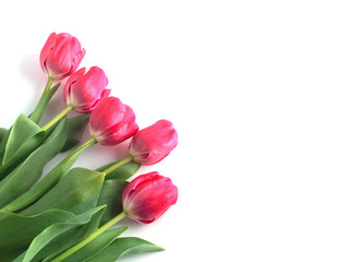 Wall Mural - Pink tulip on white background.