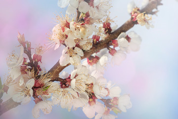 Pink almond bloosoming branch. Spring background