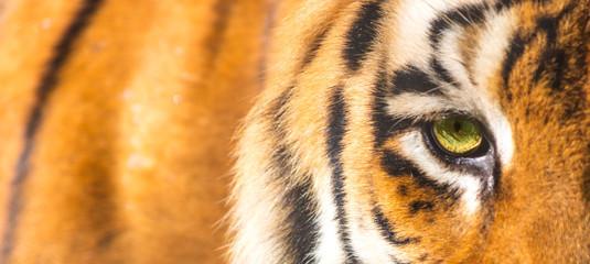 Photo sur Aluminium Tigre Close up do olho do tigre