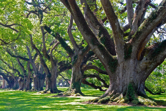famous oak alley plantation in Vacherie, Louisiana