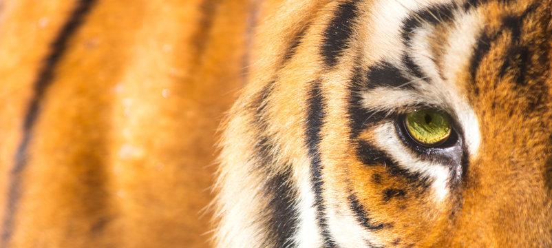 Close up do olho do tigre