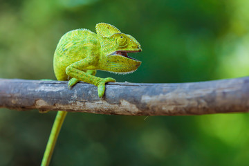Photo sur Aluminium Cameleon Green chameleon india