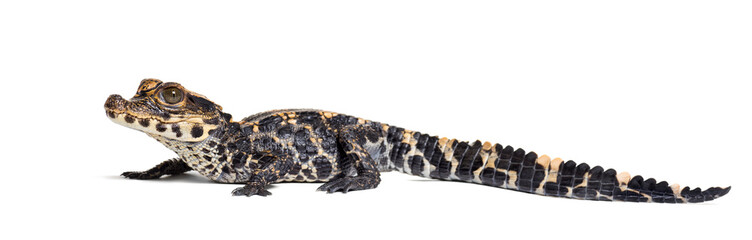 Photo sur Aluminium Crocodile Dwarf crocodile against white background