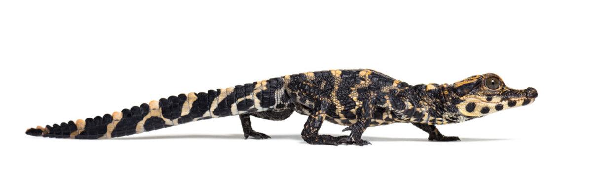 Dwarf crocodile against white background