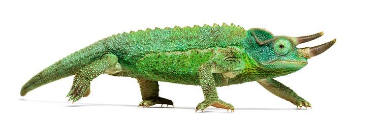 Ingelijste posters Kameleon Side view of a Jackson's horned chameleon walking