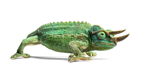 Side view of a Jackson's horned chameleon walking