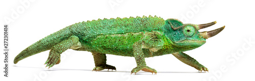 Wall mural Side view of a Jackson's horned chameleon walking