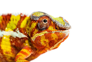 Printed roller blinds Chameleon Head of Panther chameleon, Furcifer pardalis looking at camera