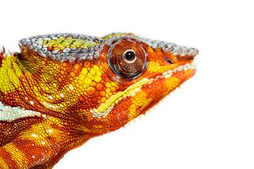 Foto op Aluminium Kameleon Head of Panther chameleon, Furcifer pardalis looking at camera