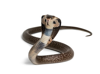King cobra, Ophiophagus hannah, venomous snake against white