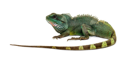 Wall Mural - Chinese water dragon , Physignathus cocincinus