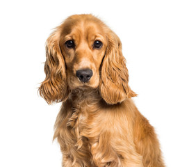 Wall Mural - Cocker spaniel looking at camera against white background