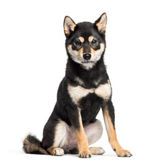 Young Shiba Inu sitting against white background