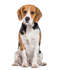 Fototapete - Beagle dog sitting against white background