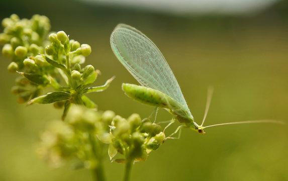 Insekt - Gewöhnliche Florfliege