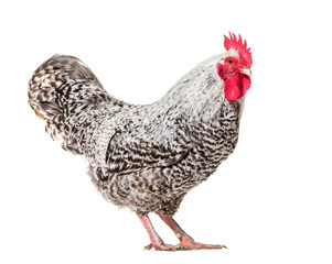 Wall Mural - Chicken standing against white background