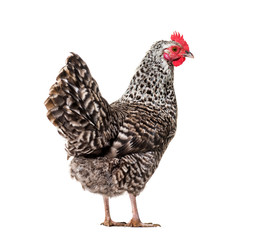 Chicken standing against white background