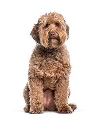 Fototapete - Labradoodle , 2 years, sitting against white background