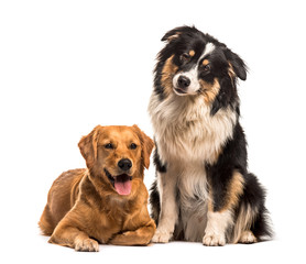 Fototapete - Golden Retriever & Australian Shepherd sitting against white bac