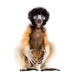 Wall Mural - 4 months old baby Crowned Sifaka sitting against white