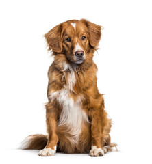 Fototapete - Toller, 2 months, sitting against white background