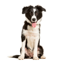 Fototapete - Panting 5 months old puppy border collie dog sitting against white background
