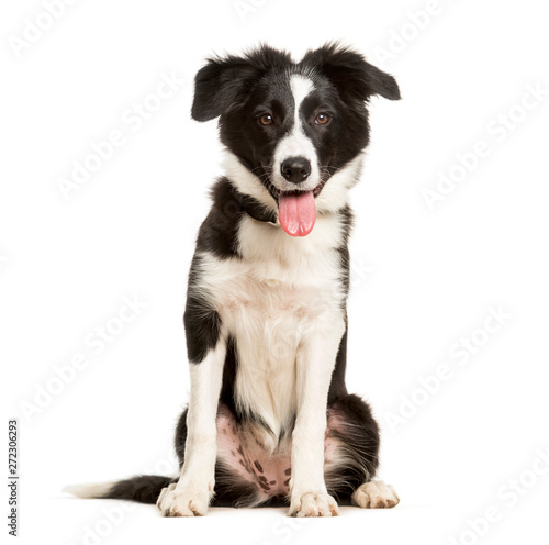Wall mural Panting 5 months old puppy border collie dog sitting against white background