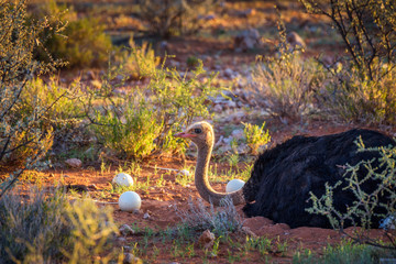 Ostrich guarding its eggs in the Kalahari desert of Namibia
