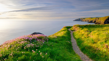 Spring evening light on Thrift 'Sea Pinks' in Ceibwr Bay, Pembroke, Wales