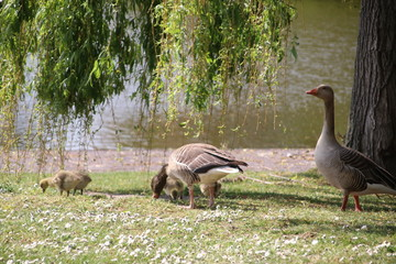 Grey goose with chicks in a field of grass in Rotterdam