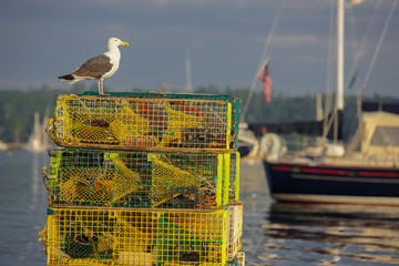 Seagull with Lobster Traps