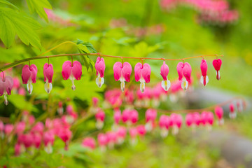 Beautiful bleeding heart(Dicentra spectabilis) flowers.