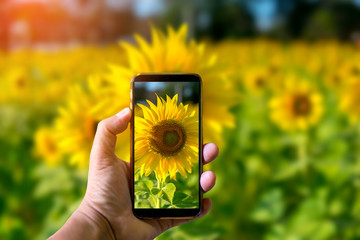 Hand holding mobile phone and take a photo colorful sunflowers on blurred background with sunlight.