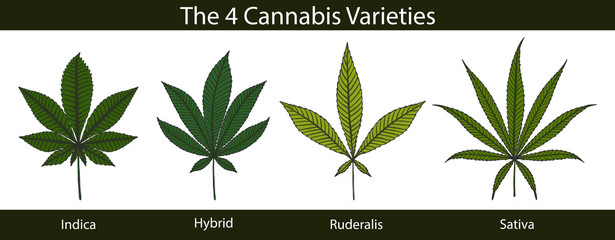 Set of cannabis by hand drawing.Beautiful green leaf on white background.Leaf vector graphics design art highly detailed in line art style.