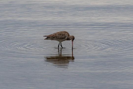 Bar-tailed godwit - migratory birds in the river