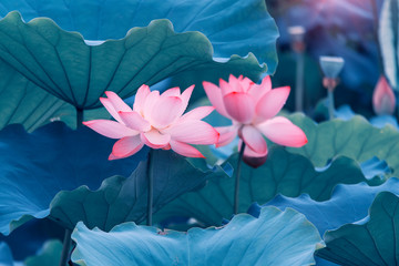 Garden Poster Lotus flower beautiful pink lotus flower plants