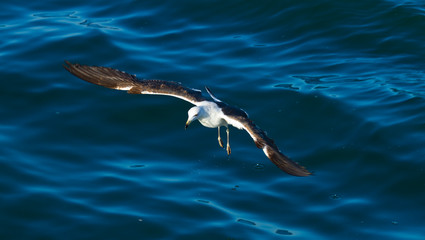 BLACK BACKED KELP GULL, False Bay, South Africa, Africa