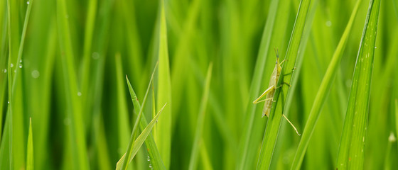 close up of ripening rice in a paddy field