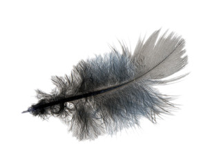 Ruffled feather