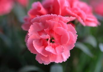 Obraz Różowy goździk pachnący z bliska - fototapety do salonu