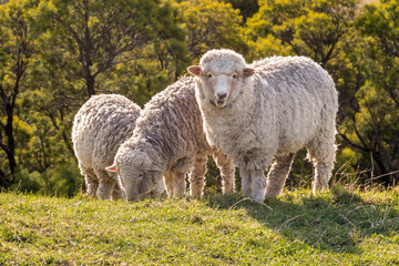 Fond de hotte en verre imprimé Sheep flock of merino sheep grazing on meadow at sunset