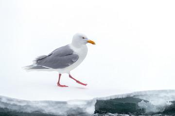 Herring gull isolated on an ice shelf in Svalbard Wall mural