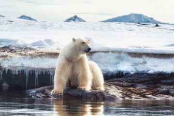 Foto op Plexiglas Ijsbeer Adult male polar bear at the ice edge in Svalbard
