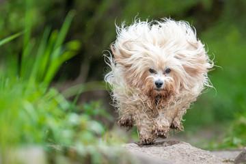Hund beim Springen
