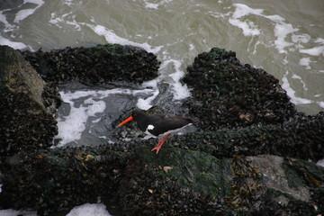 oystercatcher between waves on stones at the Scheveningen harbor