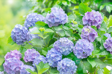 Fotobehang Hydrangea 紫陽花 あじさい