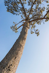 Big old frican pine. Treetop and stem. Pines, firs, evergreen trees. Cape Town, South Africa.